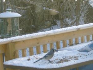 Elusive Blue Jay