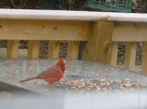 Beautiful Cardinal