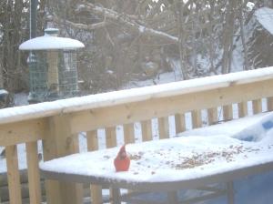 Cardinal (again) Snowing