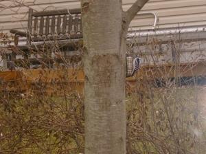 Woodpecker at Suet